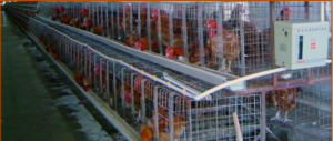 Chicken in battery cages