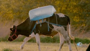 "The ""belch backpack""  inserted inside a cows stomach to collect methane emitted in cows' gas, credit:  Mother Jones http://www.motherjones.com/environment/2015/12/discovery-racing-extinction-methane-bags-timelapse"